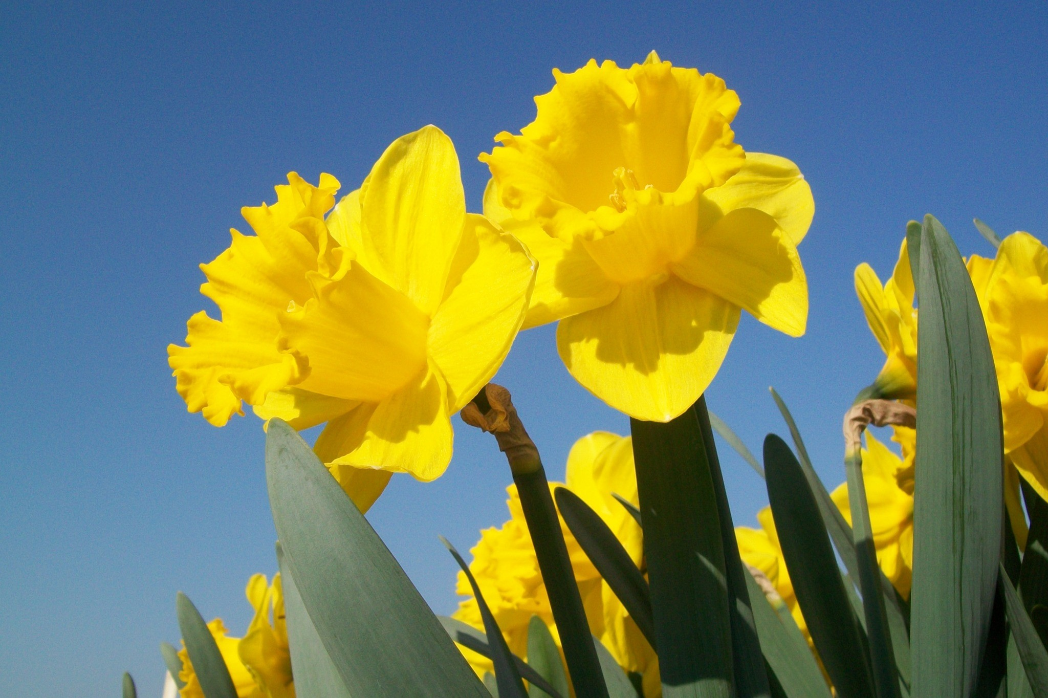prachtige narcissen, lente, pure dankbaarheid